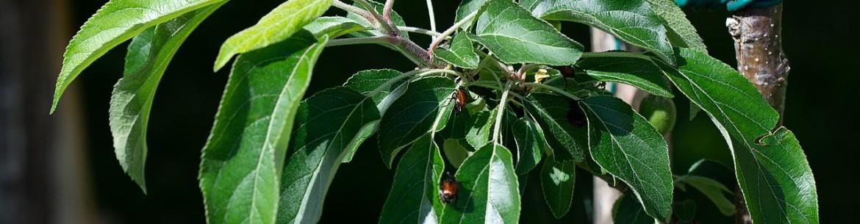 Обрезка молодых яблонь весной и осенью: инструкция для начинающих садоводов