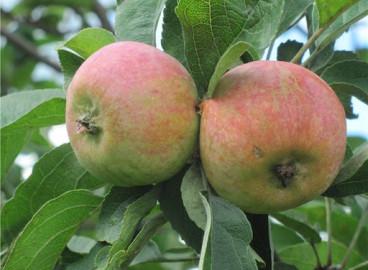 Яблоня Коробовка: особенности сорта и ухода