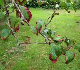 Краснеют листья у яблони: причины и болезни + рекомендации по лечению