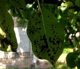 Черные пятна на листьях яблони: причины и методы их лечения