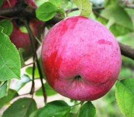 Яблоня Брянское алое: особенности сорта и ухода
