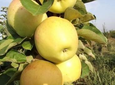 Яблоня Янтарное ожерелье: особенности сорта и ухода