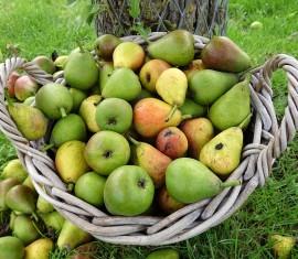 Чем подкормить яблони и груши весной, летом и осенью
