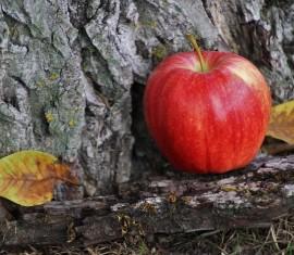 Восстанавливаем поврежденную кору на яблоне: как лечить механические и инфекционные раны