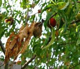 Ожоги яблони: как лечить дерево и помочь ему восстановиться