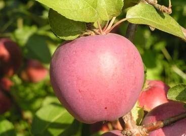 Яблоня Имант: особенности сорта и ухода