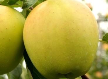 Яблоня Голден рейнджерс: особенности сорта и ухода