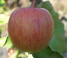 Яблоня Винное: особенности сорта и ухода