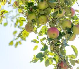 Бледные, светлые листья у яблони: в чем причины и что делать