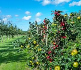 Колоновидная яблоня: особенности посадки саженцев