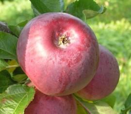 Яблоня Джин: особенности сорта и ухода