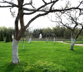 Побелка яблонь от болезней и вредителей: правила, составы и меры предосторожности
