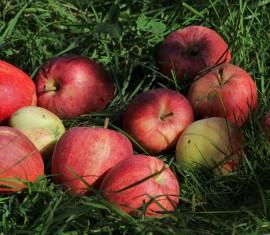 Куда девать опавшие яблоки на даче: все о разумном применении падалицы
