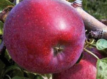 Яблоня Кубанское багряное: особенности сорта и ухода