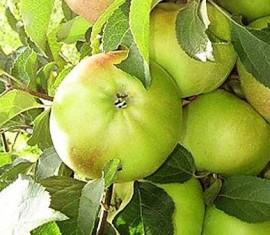 Яблоня Чебурашка: особенности сорта и ухода