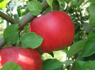 Яблоня Ауксис: особенности сорта и ухода
