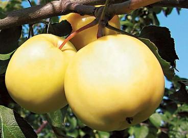 Яблоня Папироянтарное: особенности сорта и ухода