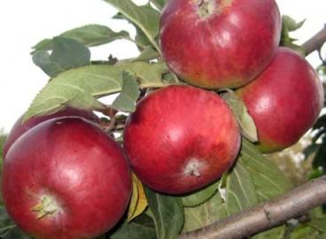 Яблоня Луч: особенности сорта и ухода