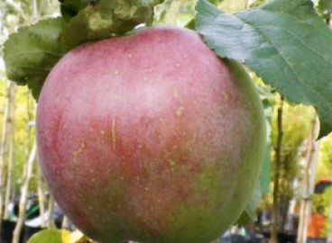 Яблоня Бабушкино: особенности сорта и ухода