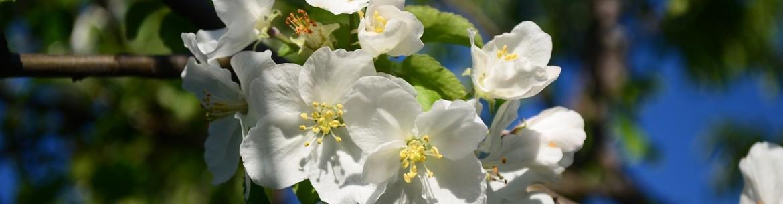 Подкормка яблонь весной для хорошего урожая