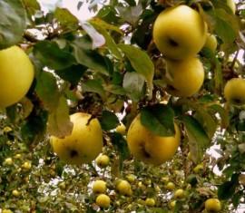 Когда снимать антоновку на хранение: советы по сбору яблок