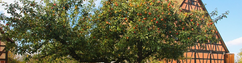 Треснул ствол яблони: что делать и как обработать трещину
