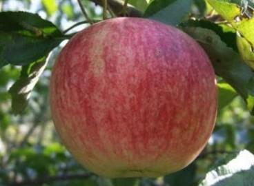 Яблоня Победитель: особенности сорта и ухода