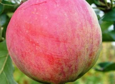 Яблоня Бессемянка мичуринская: особенности сорта и ухода