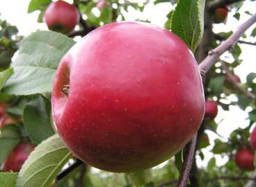 Яблоня Анис алый: особенности сорта и ухода