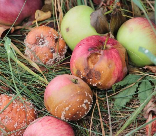 Что делать с гнилыми яблоками в саду: можно ли их использовать и куда выбрасывать