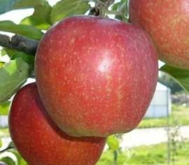 Яблоня Санрайз: особенности сорта и ухода