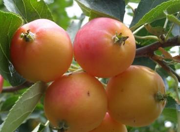 Яблоня Ранетка: особенности сорта и ухода