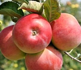 Яблоня Вэм розовый: особенности сорта и ухода