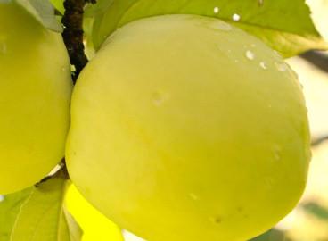 Яблоня Антоновка золотая: особенности сорта и ухода
