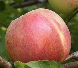Яблоня Болотовское: особенности сорта и ухода