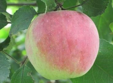 Яблоня Успенское: особенности сорта и ухода
