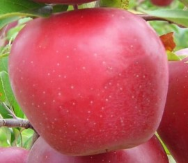 Яблоня Гала: особенности сорта и ухода