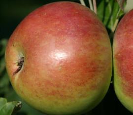 Яблоня Сенатор: особенности сорта и ухода