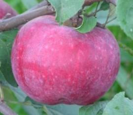 Яблоня Терентьевка: особенности сорта и ухода