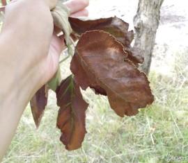 Что делать, если на яблоне появились коричневые листья