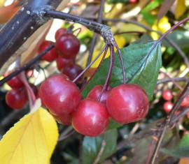 Яблоня Роял Бьюти: особенности сорта и ухода