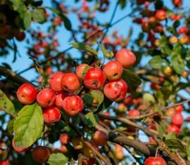 Млечный блеск на яблоне: лечение и профилактика