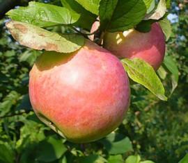 Яблоня Здоровье: особенности сорта и ухода