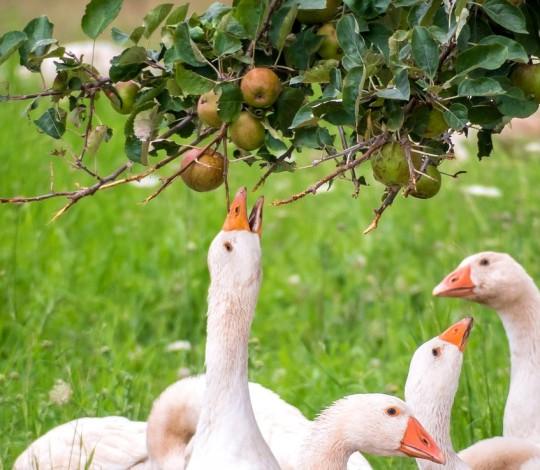 Можно ли давать яблоки животным и птице и сколько в день будет не во вред