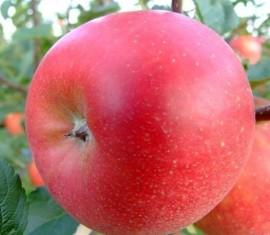 Яблоня Лигол: особенности сорта и ухода