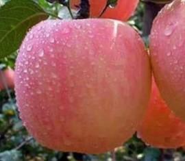 Яблоня Розовый налив: особенности сорта и ухода