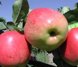 Яблоня Скала: особенности сорта и ухода