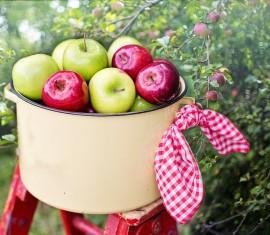 Как собрать яблоки не навредив высокой яблоне