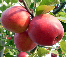 Яблоня Пепин шафранный: особенности сорта и ухода