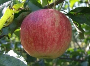 Яблоня ВЭМ-сувенир: особенности сорта и ухода